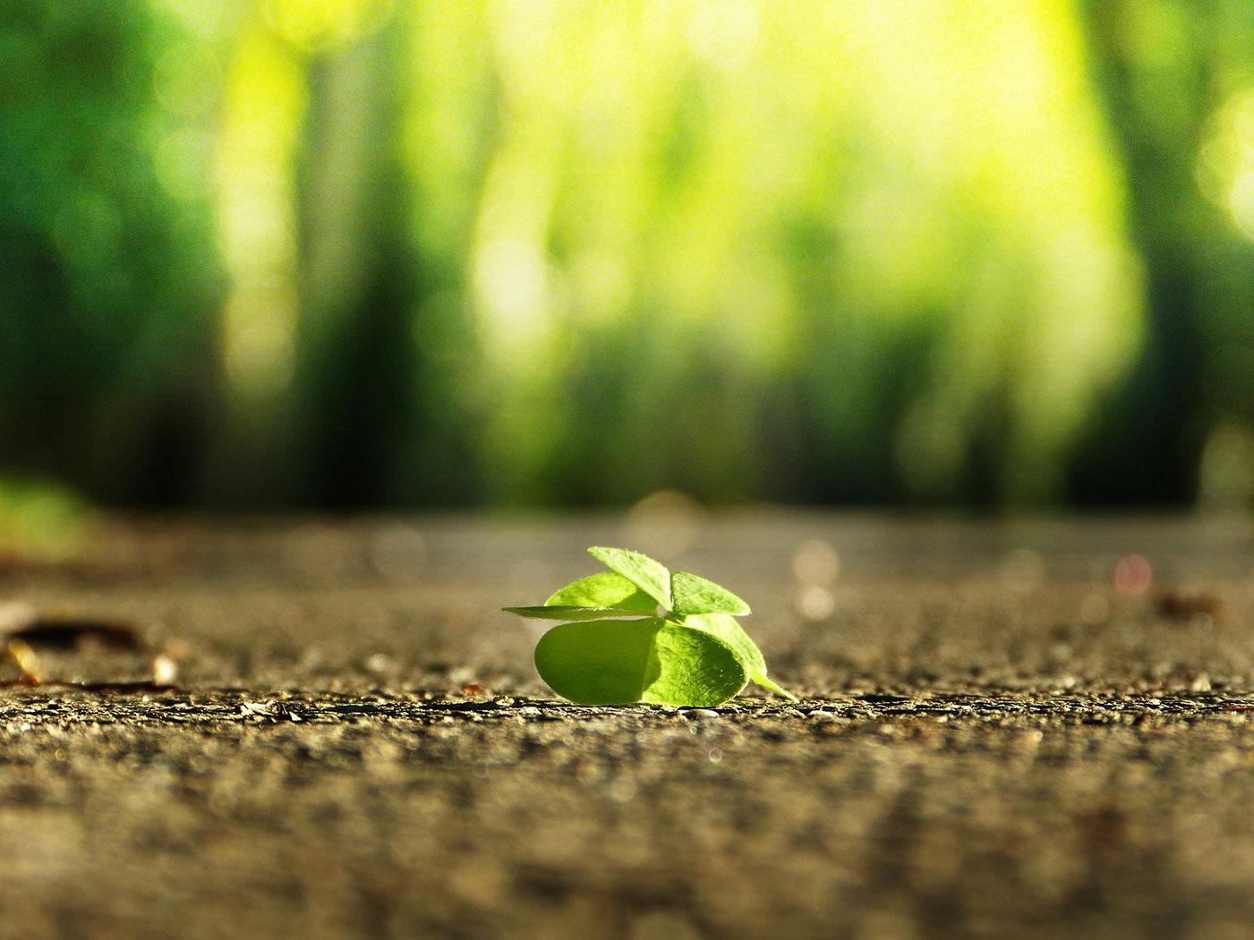 Four leaf clove Silviarita